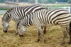 The pair of Zebras Equus burchell`s eating the haulm, rhinoceroses, camel and big birds on the background. Animals in natural co stock image