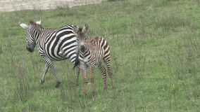 Pair of Zebras grazing on the grassland stock video footage