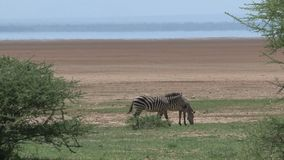 Pair of zebras grazing on the savanna stock video footage
