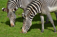 Pair of Zebras Grazing Together on a Prairie Royalty Free Stock Images