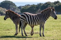 A pair of zebras on the pasture. A pair of zebras on the green pasture stock images