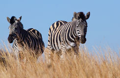 Pair of Zebras low view Stock Photo