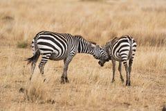 Pair of zebras Stock Photos