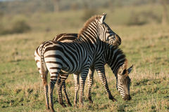 Pair of Zebras in the plains. Pair of African Zebras in the sunset plains of Africa Stock Photos