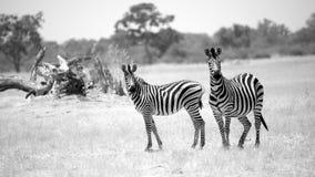 Pair of Zebras. In savanna of Botswana Stock Photo