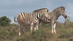 Pair of zebras standing on the savanna stock video
