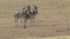Pair of zebras standing on the savanna stock video footage