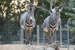 Pair of zebras Stock Images