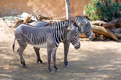 The pair of zebras Royalty Free Stock Images