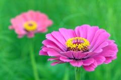Pair zinnia flower Stock Images