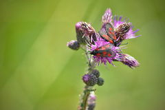 Pair of zygaena viciae butterflies. Wildlife of middle Europe meadows, lakes and forests Royalty Free Stock Photos