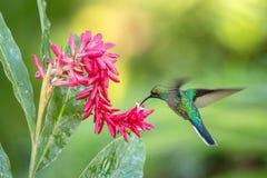 pairar sabrewing Branco-atado ao lado da flor cor-de-rosa, pássaro em voo, floresta tropical caribean, Trindade e Tobago foto de stock royalty free