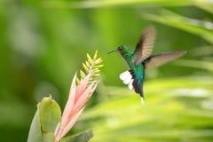 pairar sabrewing Branco-atado ao lado do rosa e da flor amarela, pássaro em voo, floresta tropical caribean, Trindade e Tobago fotos de stock royalty free