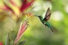 pairar sabrewing Branco-atado ao lado do rosa e da flor amarela, pássaro em voo, floresta tropical caribean, Trindade e Tobago imagem de stock
