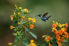 Pairar woodstar endêmico de Santa Marta ao lado das flores amarelas no jardim, colibri com asas estendidos, Colômbia, pássaro, CC fotos de stock