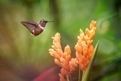 pairar woodstar Roxo-throated ao lado da flor alaranjada, floresta tropical, Equador, pássaro que suga o néctar da flor no jardim fotos de stock