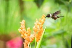 pairar woodstar Roxo-throated ao lado da flor alaranjada, floresta tropical, Equador, pássaro que suga o néctar da flor no jardim fotografia de stock