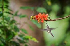 pairar woodstar Roxo-throated ao lado da flor alaranjada, floresta tropical, Peru, pássaro que suga o néctar da flor no jardim imagem de stock royalty free