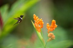 pairar woodstar Roxo-throated ao lado da flor alaranjada, floresta tropical, Peru, pássaro que suga o néctar da flor imagens de stock royalty free