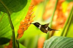 pairar woodstar Roxo-throated ao lado da flor alaranjada, floresta tropical, Peru, pássaro que suga o néctar da flor no jardim imagem de stock