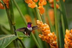 pairar woodstar Roxo-throated ao lado da flor alaranjada, floresta tropical, Peru, pássaro que suga o néctar da flor no jardim fotos de stock