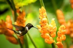 pairar woodstar Roxo-throated ao lado da flor alaranjada, floresta tropical, Peru, pássaro que suga o néctar da flor no jardim fotografia de stock