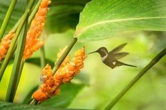 pairar woodstar Roxo-throated ao lado da flor alaranjada, floresta tropical, Peru, pássaro que suga o néctar da flor no jardim imagens de stock royalty free