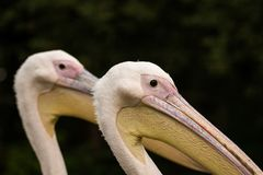 A paird of Pelican beack close up. Head shot of a Pelican with a pelican in the background royalty free stock photography