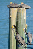 Paired Brown Pelicans. Relaxing and Cleaning Brown Pelicans Royalty Free Stock Image