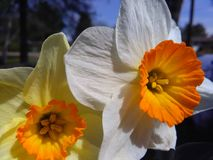 Paired. Pair of daffodils together yellow and white Royalty Free Stock Photos