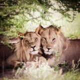 Paires affectueuses de lion et de lionne Photo stock