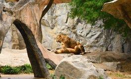 Paires affectueuses de lion et de lionne dans le zoo Photo libre de droits