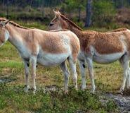 Paires d'ânes Images libres de droits