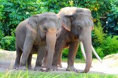 Paires d'éléphant asiatique images libres de droits