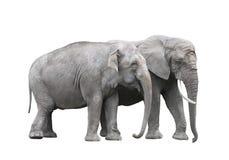 Paires d'éléphants Photo stock