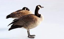 Paires d'élevage d'oies de Canada se tenant sur l'étang congelé en hiver Photographie stock libre de droits