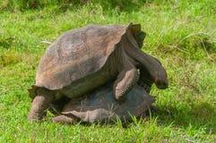 Paires d'accouplement de tortues géantes de Galapagos image stock
