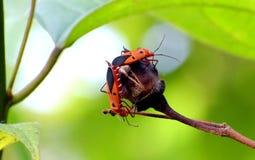 Paires d'accouplement d'insectes de coton photo libre de droits