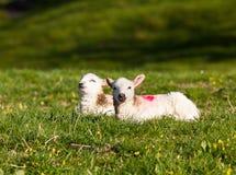Paires d'agneaux d'obturation dans le pré Images libres de droits