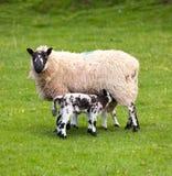 Paires d'agneaux noirs d'obturation dans le pré Photo stock