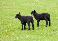 Paires d'agneaux noirs d'obturation dans le pré Image libre de droits