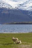 Paires d'agneaux sur un champ d'herbe en Islande Photos libres de droits