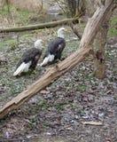 Paires d'aigle Image libre de droits
