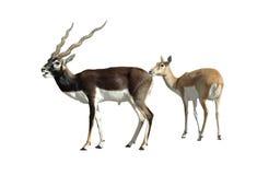 Paires d'antilope de Blackbuck d'isolement Photographie stock libre de droits