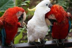 Paires d'aras colorés agissant l'un sur l'autre. Photographie stock libre de droits