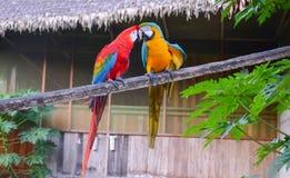 Paires d'aras vert rouge et bleu-et-jaunes se reposant ensemble en parc national de Tambopata, Pérou Photographie stock