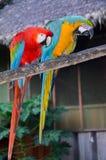 Paires d'aras vert rouge et bleu-et-jaunes se reposant ensemble en parc national de Tambopata, Pérou Image libre de droits