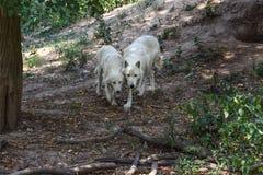 Paires d'arctos de lupus de Canis de loups blancs marchant dans la forêt ensemble image stock