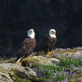 Paires d'Eagles chauve Photographie stock libre de droits