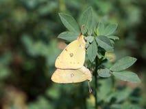 Paires d'erate de Colias, le papillon jaune opacifié pâle oriental image stock